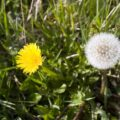 The dandelion and the coming of the Kingdom of Heaven